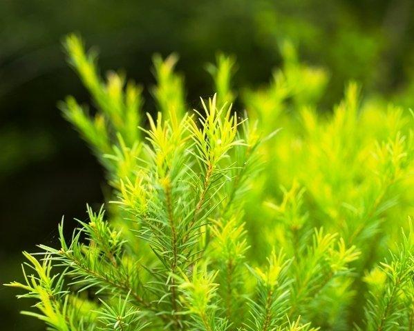 Tea Tree Golden